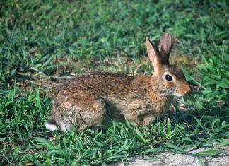 caccia coniglio tar sardegna
