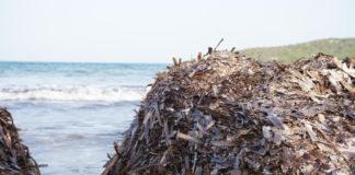 posedonia spiaggiata prospettive alghero lega sardegna